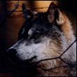 Аватар wolf